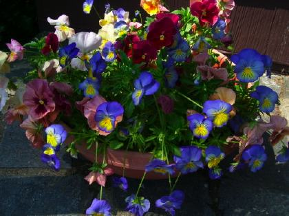 100_1677jpeg_pansies2.jpg