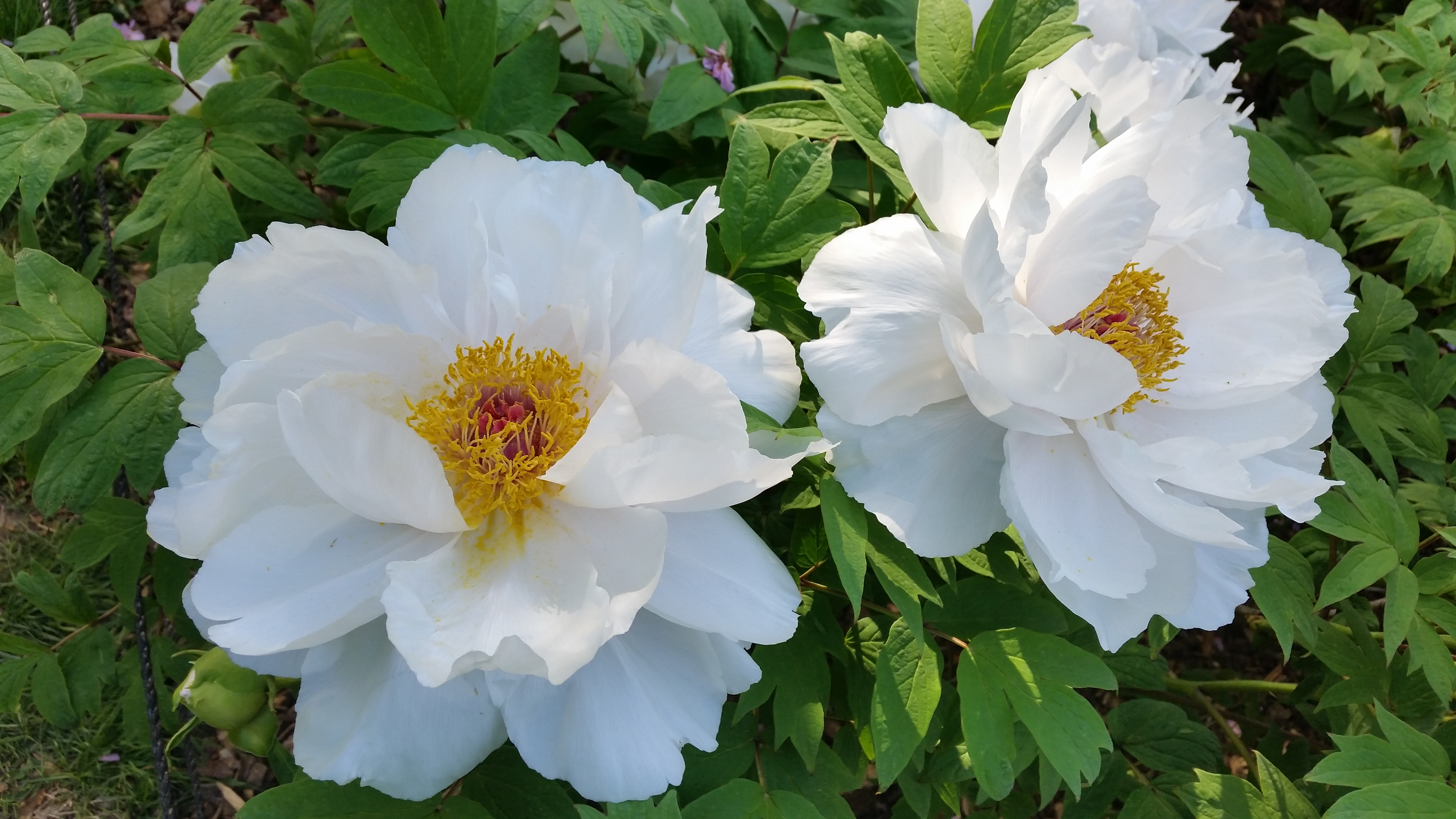 Neo neocon blog archive a little delayed today just about the most beautiful flowers in the world not the easiest plants to grow though unlike regular peonies which thrive in new england izmirmasajfo Images